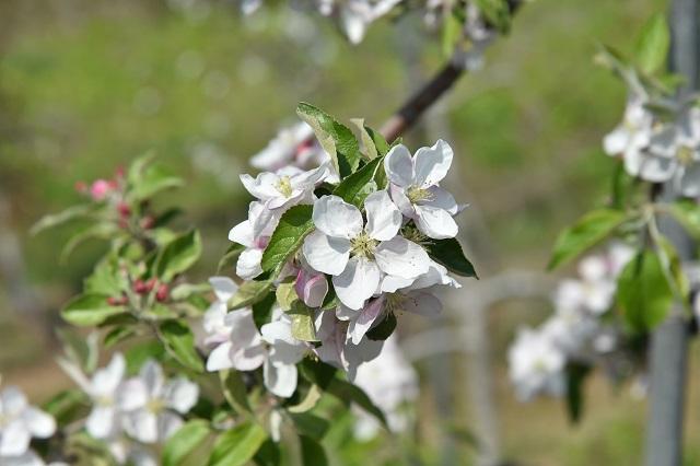 (포토) 사과 꽃