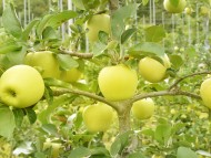 (포토) 황금사과가 무르익어가는 산소카페 청송군